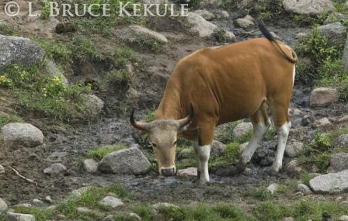 Banteng bull at a mineral lick in Huai Kha Khaeng