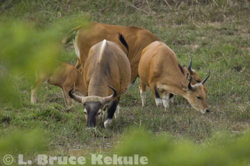 Banteng herd at a waterhole in Khao Ang Rue Nai Wildlife Sanctuary