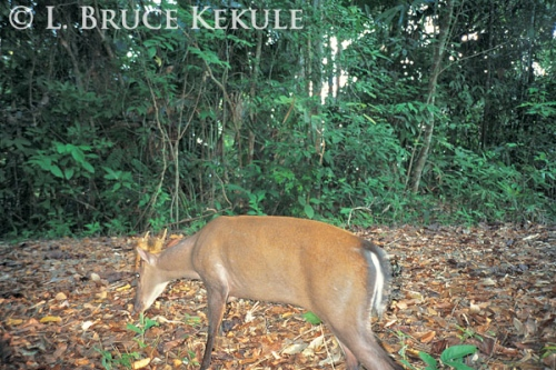 Fea's muntjac male camera-trapped at Kilometer 35 on Pahnern Thung