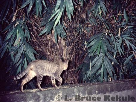 feral-cat-camera-trapped-w