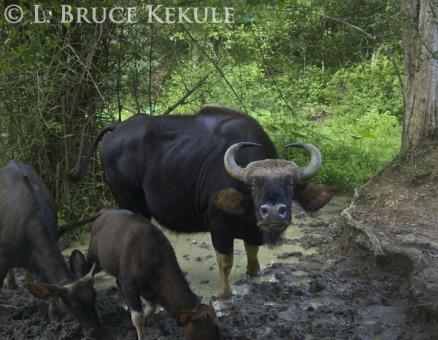 Gaur cow and calves camera-trapped in Kaeng Krachan