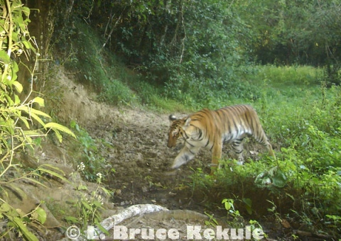 Indochinese tiger in Kaeng Krachan