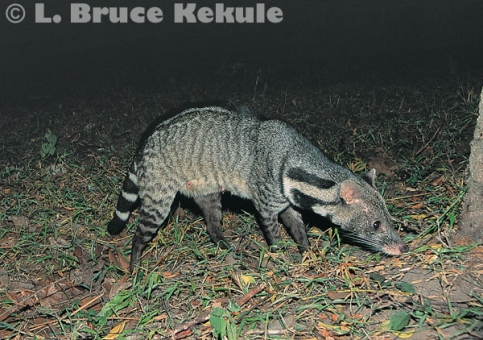 Large Indian civet in Kaeng Krachan