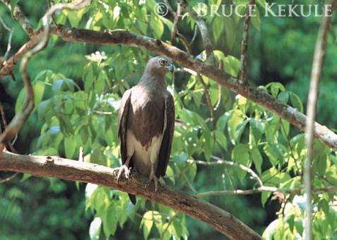 Lesser fish-eagle