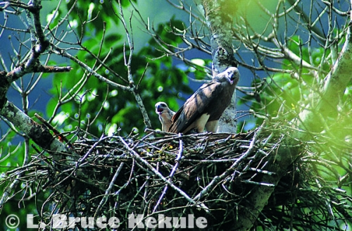 Lessor fish-eagle mother and chick high above the Phetchaburi River