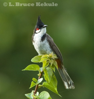 Red-whiskered bulbul in Thung Yai