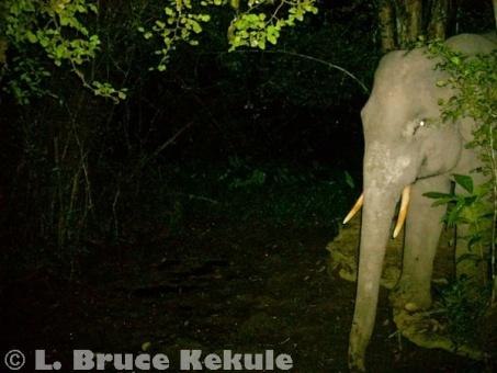 Tusker elephant at a mineral lick in Kaeng Krachan