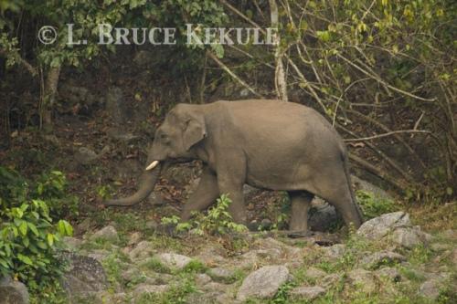 Tusker at mineral lick in Huai Kha Khaeng WS