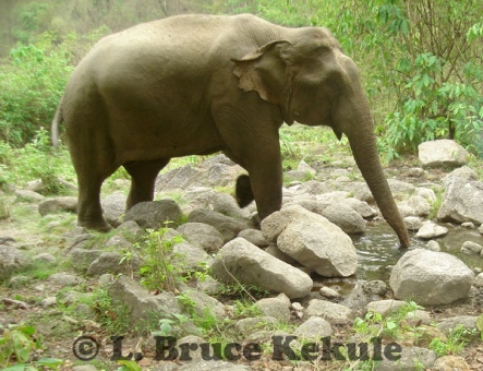 Asian elephant - tuskless bull at a waterhole in Huai Kha Khaeng Wildlife Sanctuary, Western Thailand