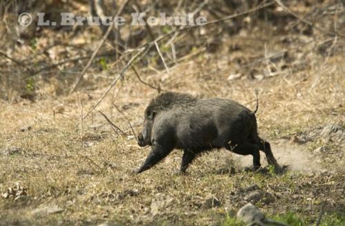 wild-boar-on-the-run_0