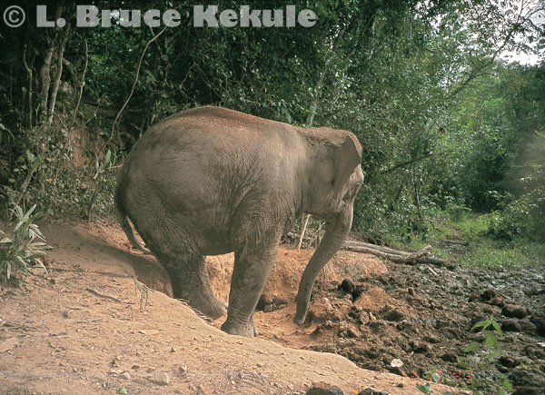 Elephant in a mineral lick in Kaeng Krachan