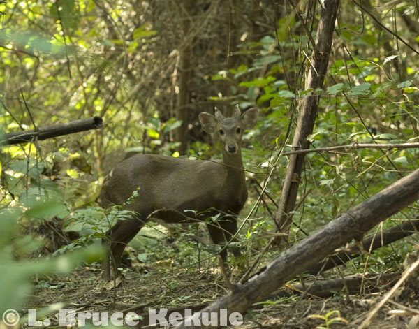 Fea's muntjac male at Kilometer 18 in the park
