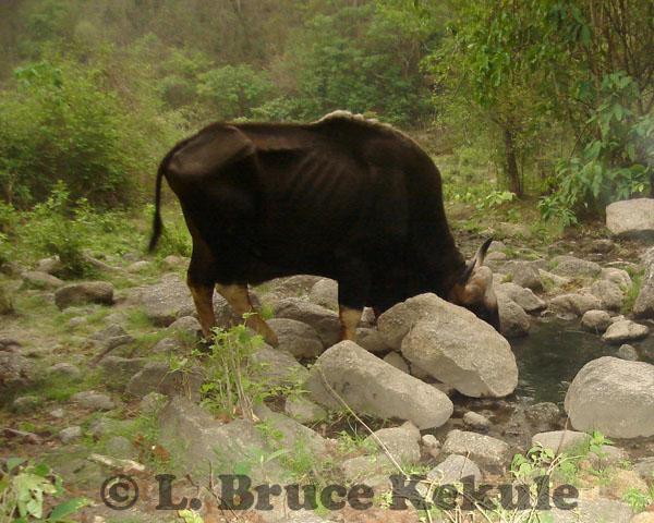 Gaur bull at a waterhole in Huai Kha Khaeng Wildlife Sanctuary, Western Thailand