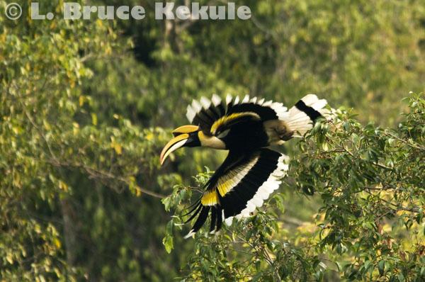Great hornbill flying of a fruit tree in Kaeng Krachan