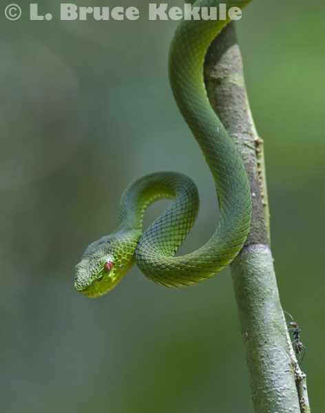 Green Pit Viper & Carpenter amt