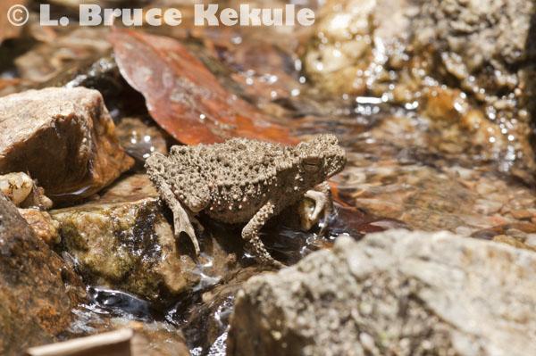 Horny tree frog in Kaeng Krachan