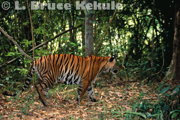 Indochinese tiger camera-trapped