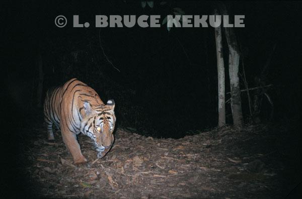Tiger prowling by the Phetchaburi river