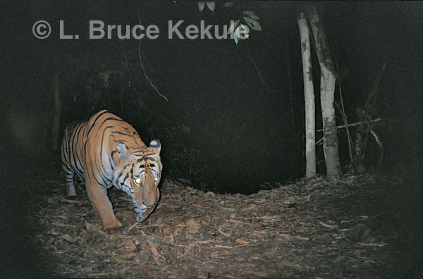 Indochinese tiger prowling at night by the Phetchaburi River