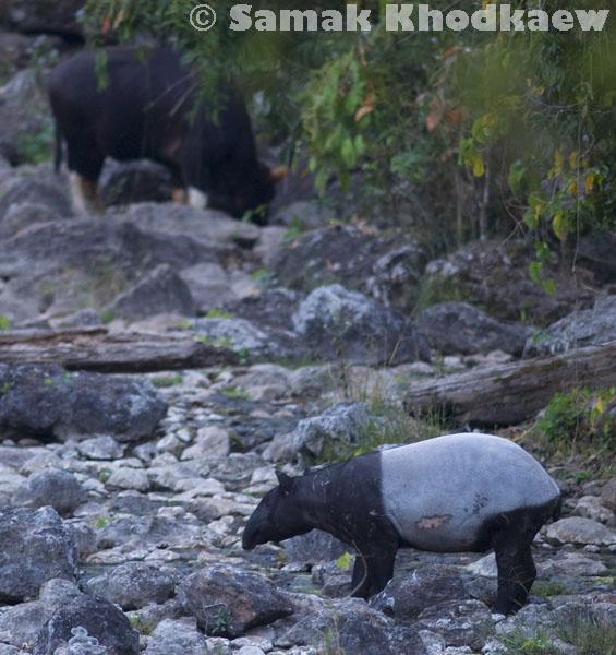 Asian tapir and gaur in Huai Kha Khaeng Wildlife Sanctuary