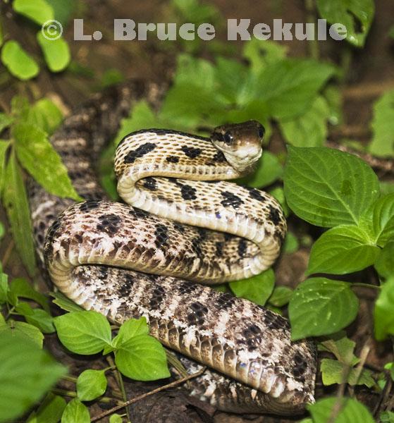 Siamese Cat snake