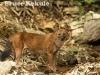 Asian Wild Dog