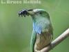 Blue-bearded bee-eater in Kaeng Krachan