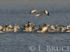 Brown seagulls