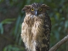 Buffy fish owl in Kaeng Krachan