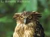 Buffy fish owl