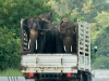 Elephants on a truck in Chiang Mai