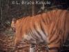 Indochinese tiger in Kaeng Krachan