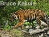 indochinese-tiger-waking