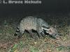 Large Indian civet in Kaeng Krachan