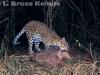 Leopard on sambar kill