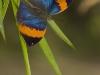 Oakleaf butterfly