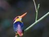 Oriental Dwarf Kingfisher in Kaeng Krachan