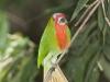 Red-bearded Bee-eater in Kaeng Krachan