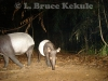 tapir-mother-and-youngster