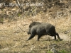 wild-boar-on-the-run