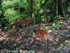 Asian wild dog camera-trapped in Kaeng Krachan