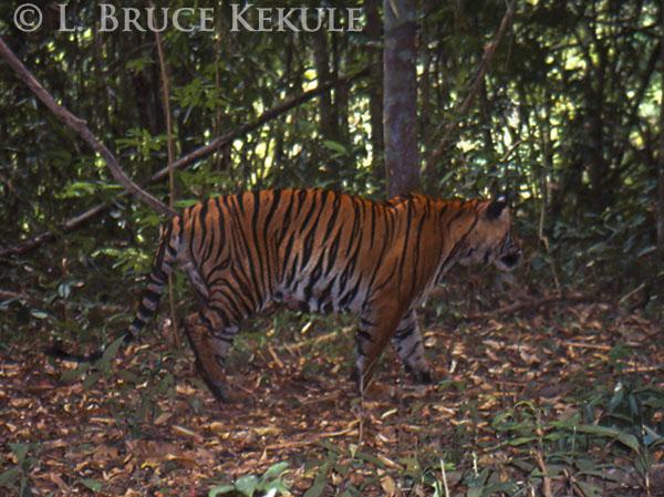 tiger-by-the-phetchaburi-river