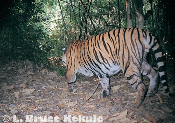 Tiger camera-trapped in Kaeng Krachan