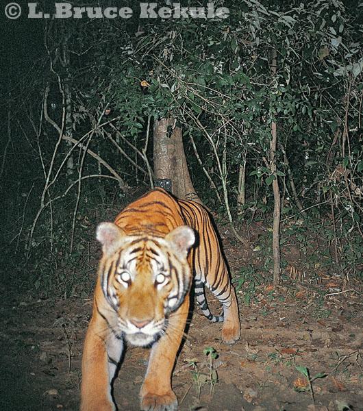 Indochinses tiger footprints in Kaeng Krachan