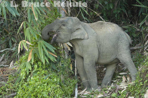 Young tusker in Khlong Saeng