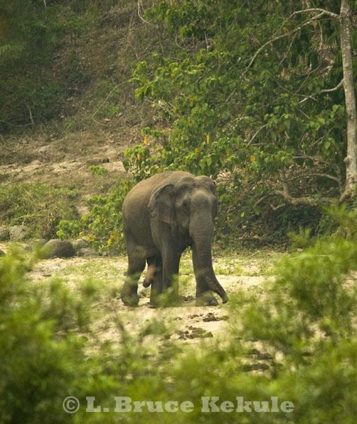 Asian elephant - tuskless bull