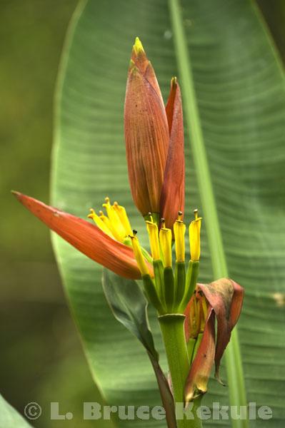 Wild banana frond