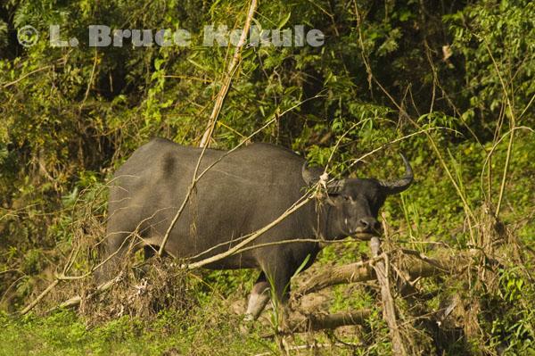 Wild water buffalo cow in Huai Kha Khaeng Wildlife Sanctuary