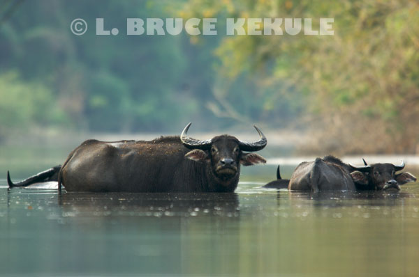 Wild-water-buffalo-herd
