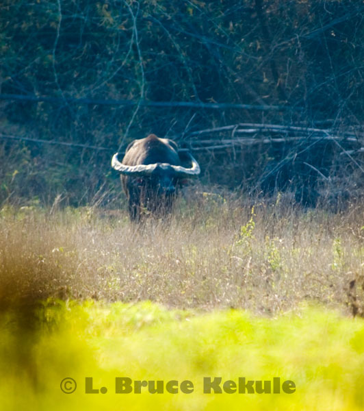 Wild water buffalo bull in 2005